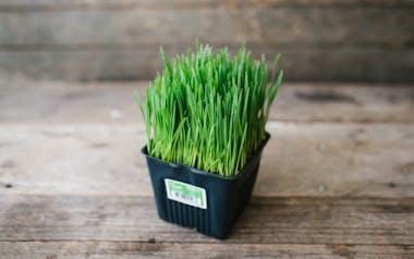 Organic Wheatgrass Mini Pot