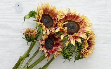 Plum Sunflowers