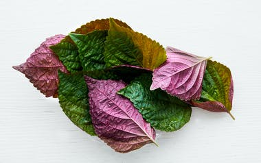 Aquaponic Red Shiso